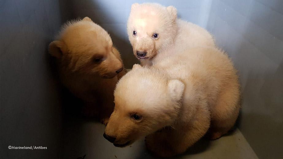 Flockes Eisbären-Trio - Ein Mädchen und zwei Buben - Marineland Antibes - 03 2020 - Schubkarren - Grenzen . Namensumfrage