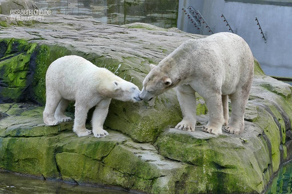 BÄRiges Frühlingskino - Eisbär NORIA + Eisbär AKIAK - Zoo Rostock - 09.10.2019
