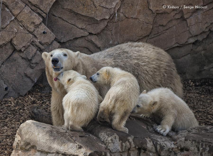 Eisbär FLOCKE - Eisbär INDIANA - Eisbär YUMA + Eisbär TALA - Marineland Antibes - 14.05.2020 - Neues
