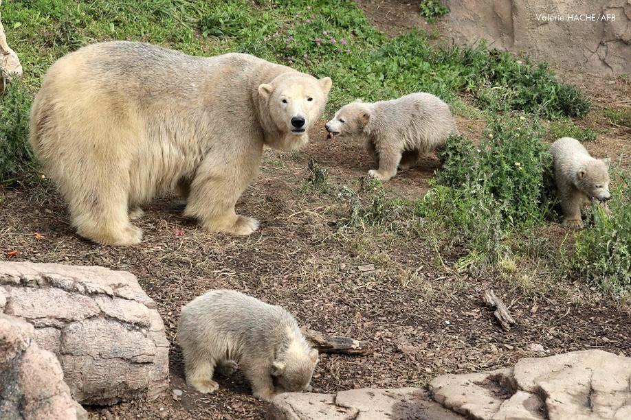 Zucker-Alarm - Eisbär Flocke + Eisbären-Trio - Marineland Antibes - 05 2020