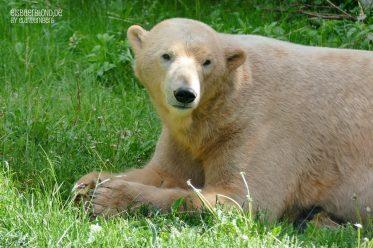 Eisbär NANUQ - Tiergarten Nürnberg - 12.05.2020 - 1 - Sie sind wieder da!