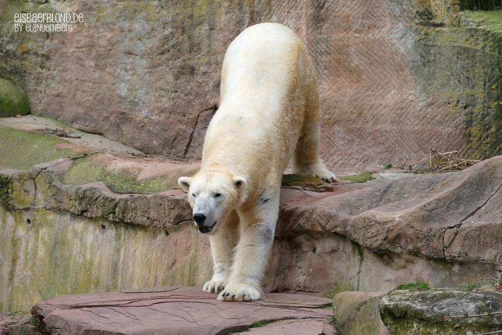 Corona macht dich - Eisbär NANUQ - Tiergarten Nürnberg - 13.03.2020
