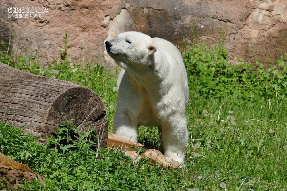 Überraschung - Eisbär VERA - Tiergarten Nürnberg - 12.05.2020 - 1