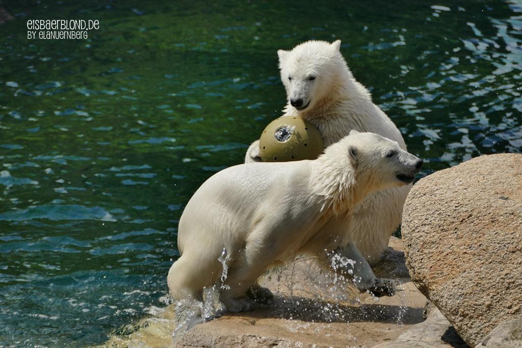 Wer zu spät kommt...Eisbär ANNA + Eisbär ELSA - Zoo am Meer in Bremerhaven - 22.06.2020