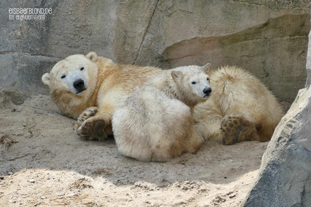 BÄRiges Sommerkino - Eisbär MILANA + Eisbär NANA - Erlebnis-Zoo Hannover - 09.06.2020 - II