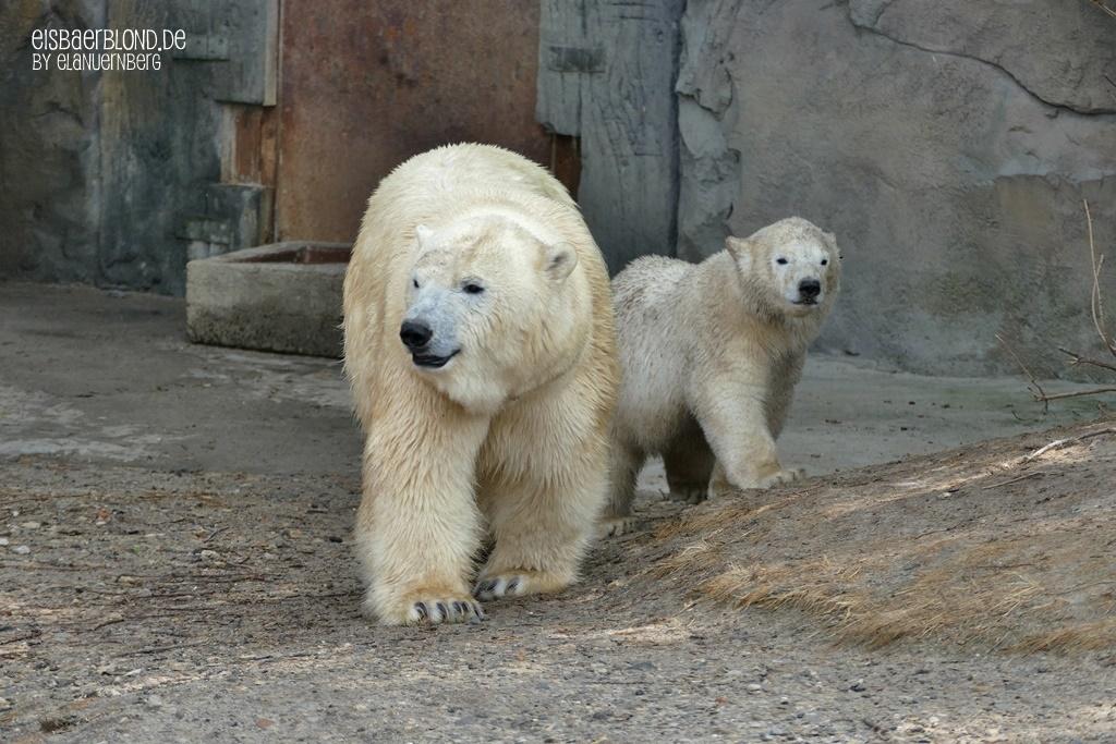 Eisbär MILANA + Eisbär NANA - Erlebnis-Zoo Hannover - 09.06.2020