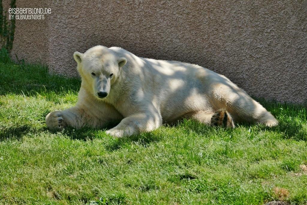 Keinen Millimeter - Eisbär NANUQ - Tiergarten Nürnberg - 29.05.2020