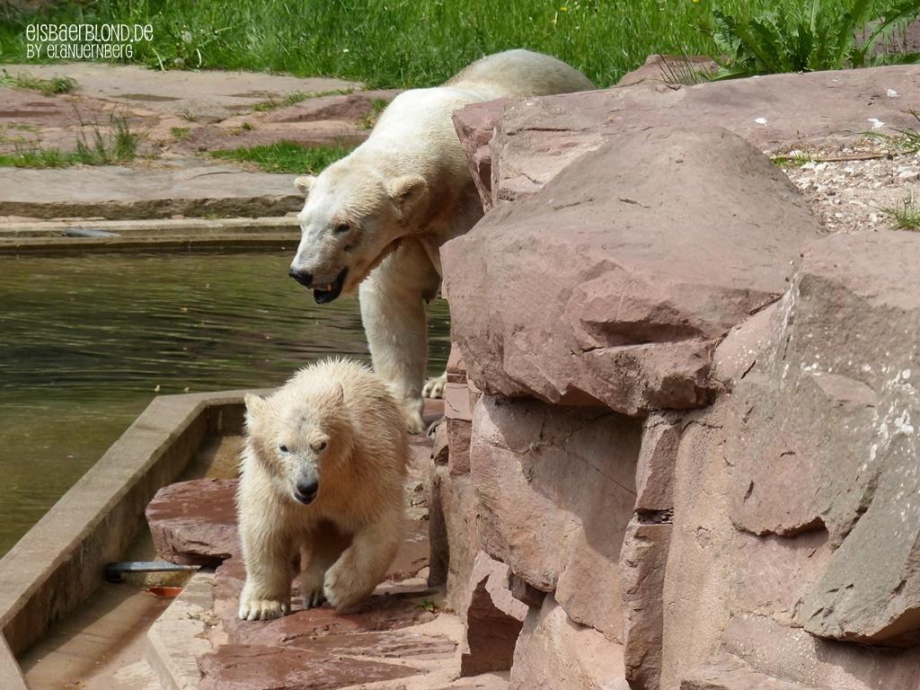 Aus der Eisbären-Truhe - Eisbär VERA + Eisbär CHARLOTTE - Tiergarten Nürnberg - 11.05.2015