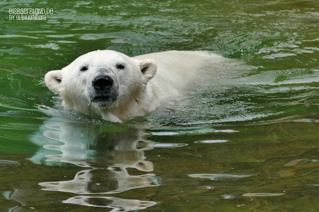 Eisbär VERA - Tiergarten Nürnberg - 29.05.2020 - Er bewegt sich doch
