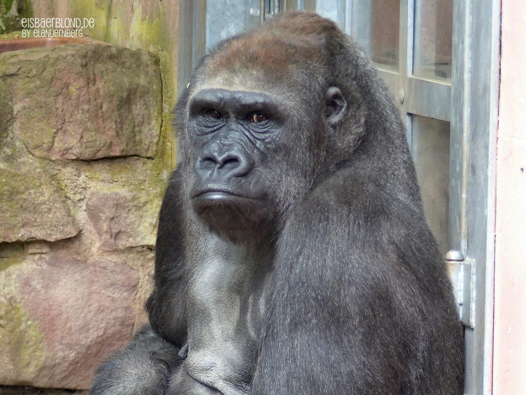 Gorilla LENA - - Tiergarten Nürnberg - 07.05.2015