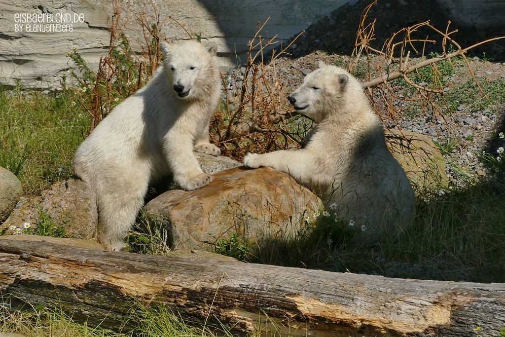 Eisbär ANNA + Eisbär ELSA - Zoo am Meer Bremerhaven - 23.06.2020 - 2