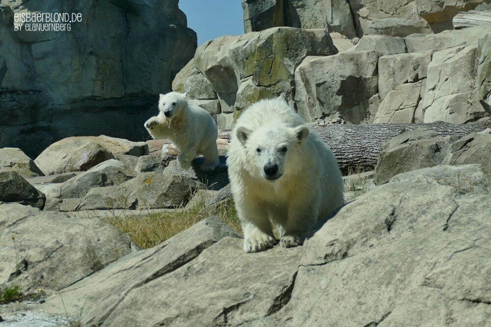 Eisbären - Eisbär ANNA + Eisbär ELSA - Zoo am Meer Bremerhaven - 23.06.2020 - 3