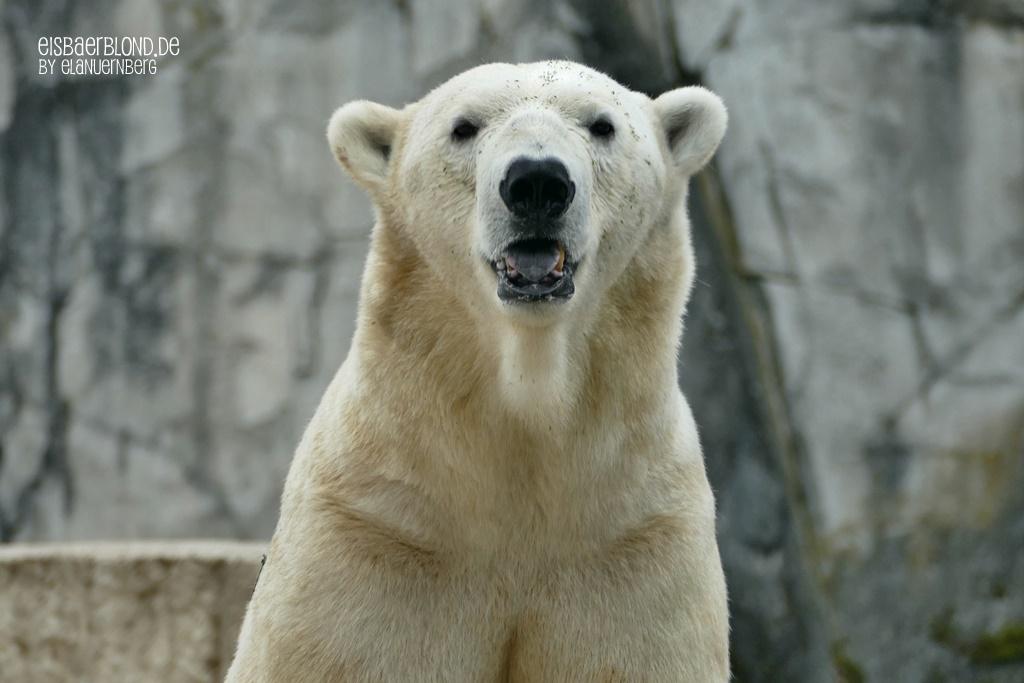 Salli! - Eisbär BLIZZARD - Zoo Karlsruhe - 17.07.2020