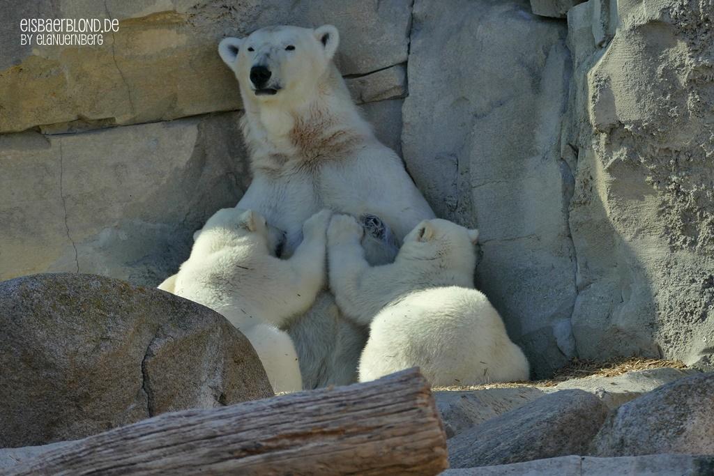 Eisbären - Eisbär VALESKA + Eisbär ANNA + Eisbär ELSA - Zoo am Meer Bremerhaven - 22.06.2020 - 2