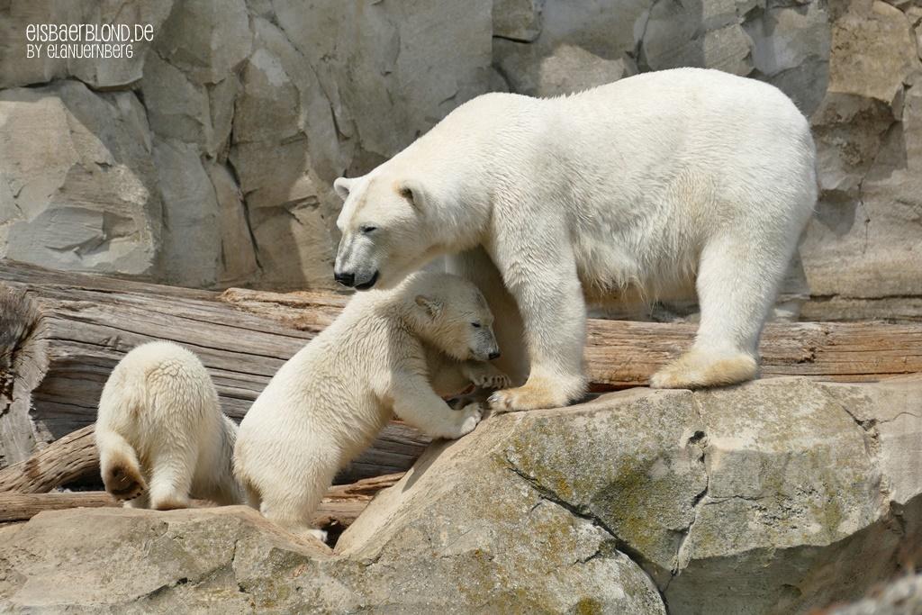 Eisbären VALESKA, ANNA & ELSA - Zoo am Meer Bremerhaven - 22.06.2020 - 1