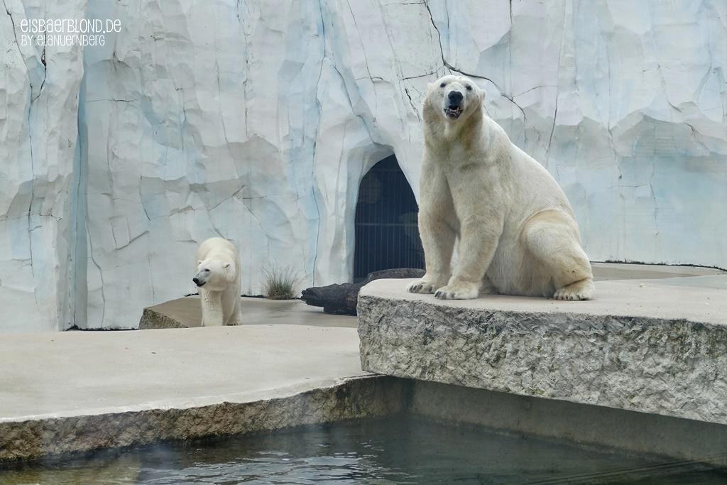 Eisbär BLIZZARD + Eisbär CHARLOTTE - Zoo Karlsruhe - 17.07.2020 - 1