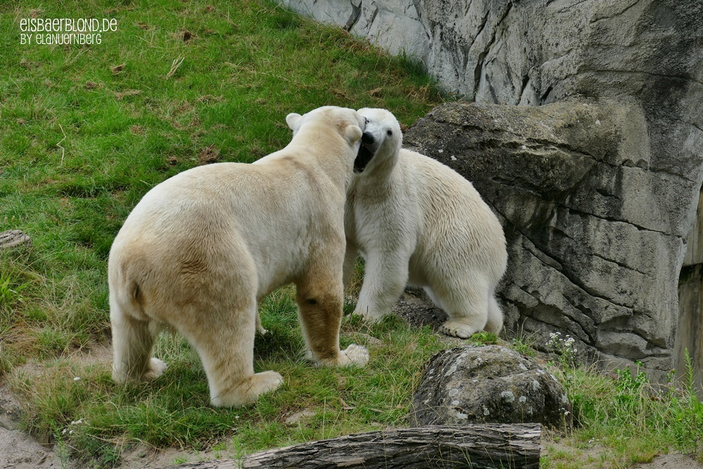 Eisbär BLIZZARD + Eisbär CHARLOTTE - Zoo Karlsruhe - 17.07.2020 - 2