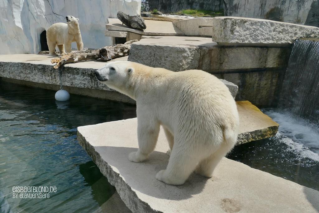 Eisbär CHARLOTTE + Eisbär BlIZZARD - Zoo Karlsruhe - 17.07.2020