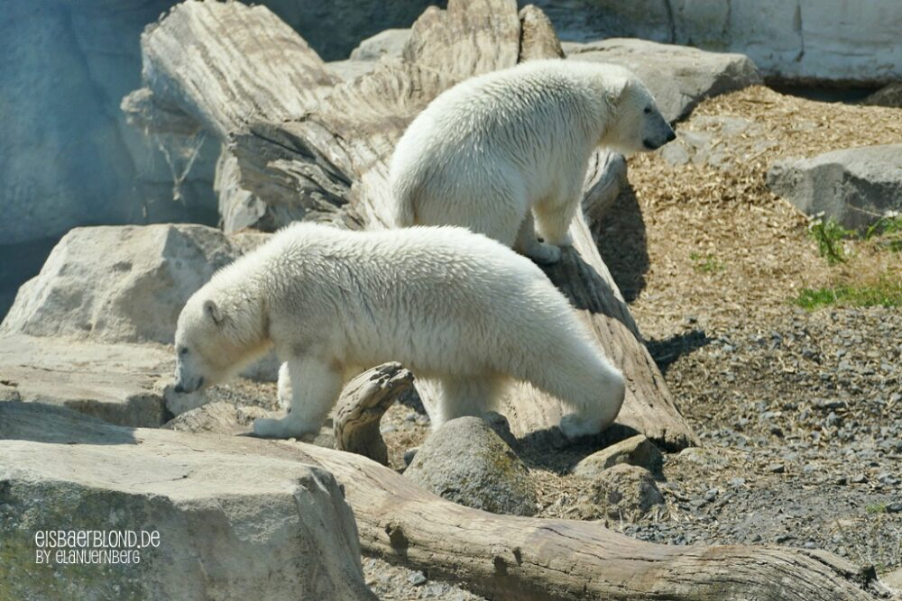 BÄRiges Sommerkino - Eisbär ANNA + Eisbär ELSA - Zoo am Meer Bremerhaven - 22.06.2020