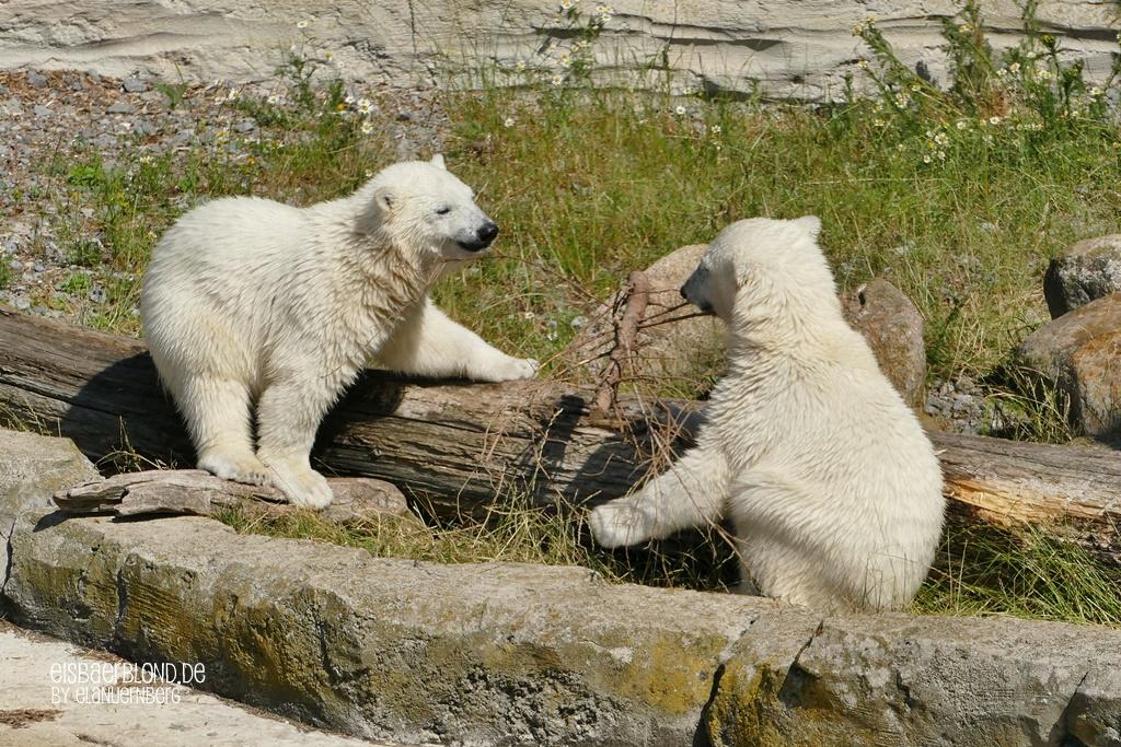 BÄRiges Herbstkino - Eisbär ANNA + Eisbär ELSA - Zoo am Meer Bremerhaven - 23.06.2020 - 1