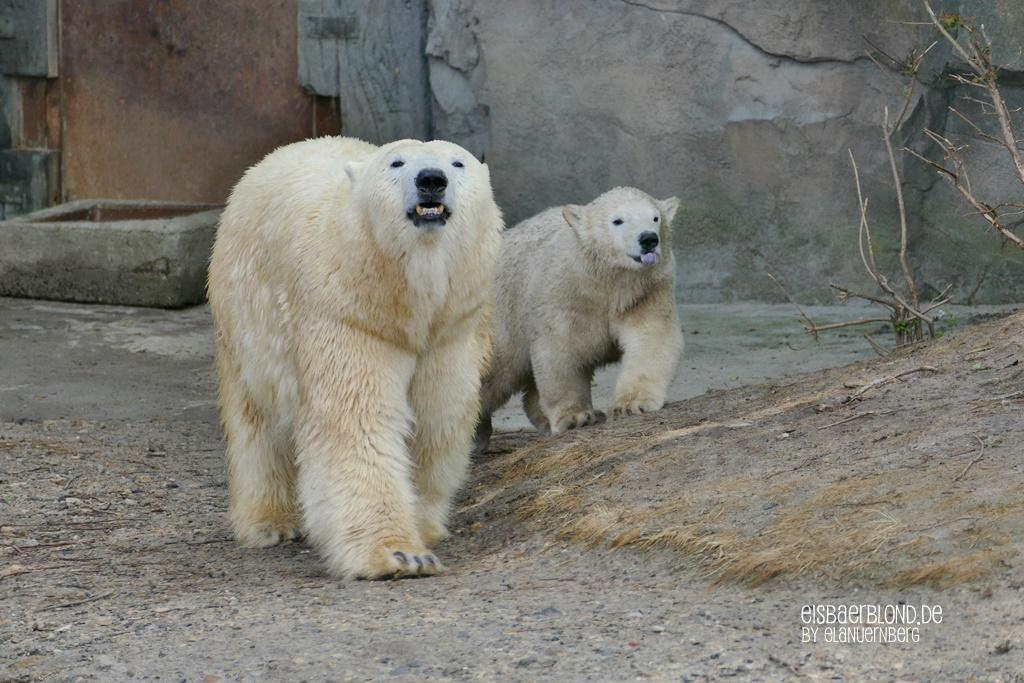 BÄRiges Sommerkino - Eisbär MILANA - Eisbär NANA - Erlebnis-Zoo Hannover - 09.06.2020 - 2 - BB