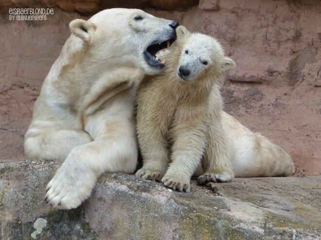 Aus der Eisbären-Truhe - Eisbär VERA + Eisbär CHARLOTTCHEN - Tiergarten Nürnberg - 21.05.2015