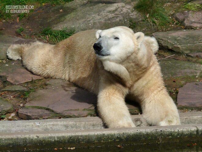 Kleine Eisbärengalerie - Eisbär FELIX - Tiergarten Nürnberg - 03.10.2020