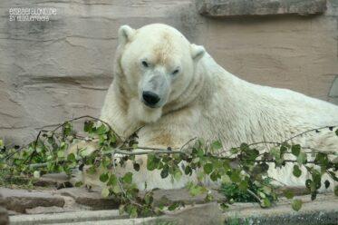 Habe die Ehre - Eisbär NANUQ - Tiergarten Nürnberg - 08.10.2020.JPG