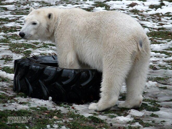 Sie burzelt - Eisbär FLOCKE - Tiergarten Nürnberg - 22.12.2009 - 2