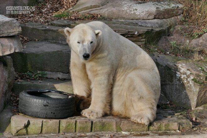 Er burzelt - Eisbär NANUQ - Tiergarten Nürnberg - 29.12.2019 - 1