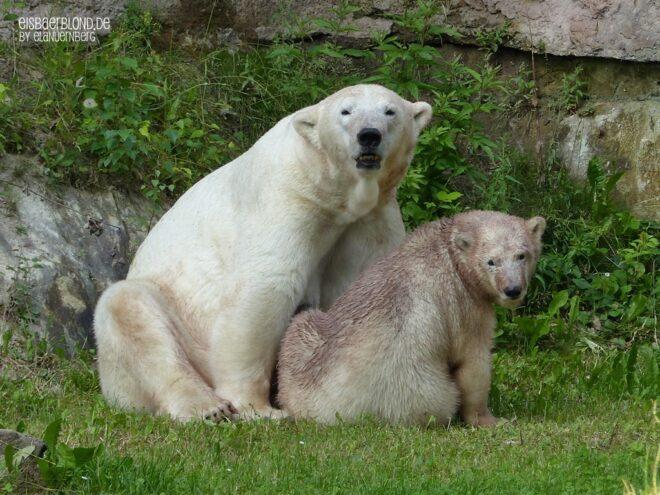Aus der Eisbären-Truhe - Eisbär VERA + Eisbär CHARLOTTCHEN - Tiergarten Nürnberg - 25.06.2015
