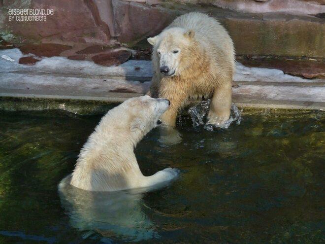 Kleine Eisbärengalerie - Eisbär Flocke & Eisbär Rasputin - 105-20210130