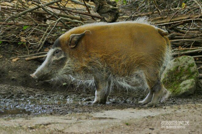 Pinselohrschwein HEIDI - Tiergarten Nürnberg - 03.07.2020