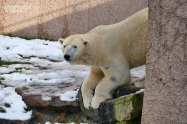 BÄRiges Winterkono - Eisbär Nanuq zögerlich