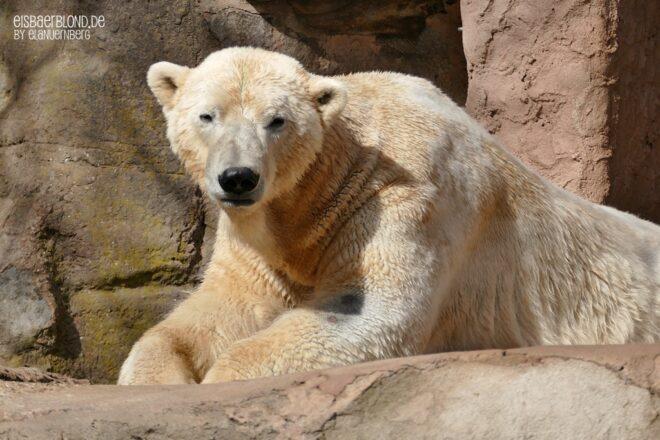 Freut euch bloß nicht zu früh - Eisbär NANUQ - Tiergarten Nürnberg - 03 2021