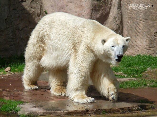 Kleine Eisbärengalerie - Eisbär FELIX - Tiergarten Nürnberg - 23.04.2010