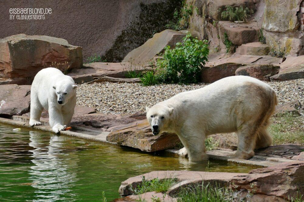 BÄRiges Frühlingskino - Eisbären Vera und Nanuq - Mai 2020