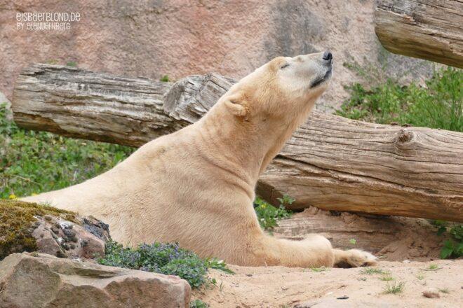Man riecht sich wieder - Eisbär NANUQ - Tiergarten Nürnberg - 30.04.2021