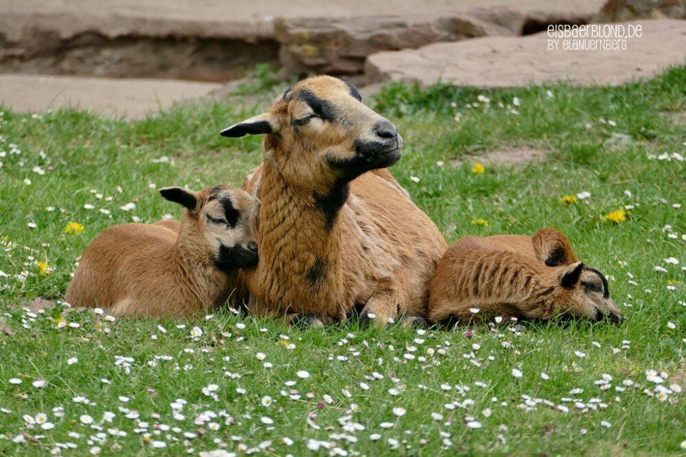 Schönen Muttertag! - Kamerunschafe - Tiergarten Nürnberg - 30.04.2021
