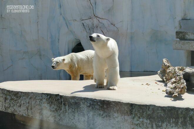 Eisbär CHARLOTTE + Eisbär BLIZZARD - Zoo Karlsruhe - 11.06.2021 - 1