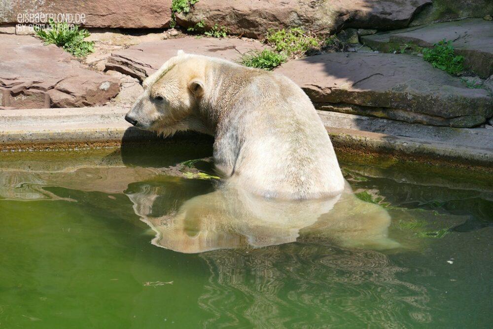 Eisbär Nanuq - Stille Wasser