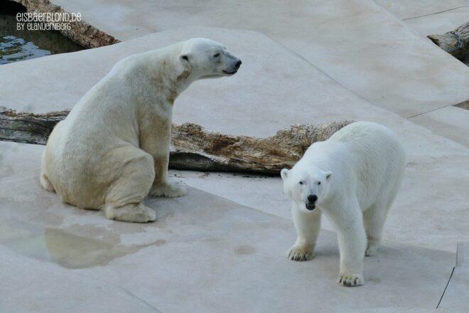 Eisbär CHARLOTTE + Eisbär BLIZZARD - Zoo Karlsruhe - 11.06.2021 - 2