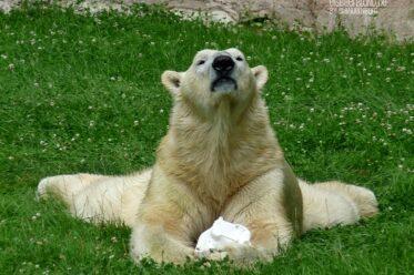 BÄRige Wiederholung - SchlaWiener Felix in der Tiergarten-Wiese