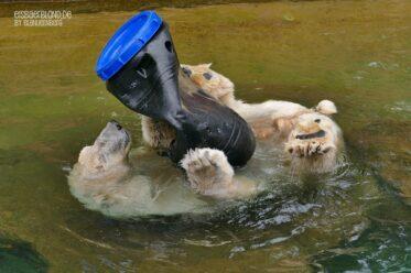 Eisbär NANUQ - Fast olympisch