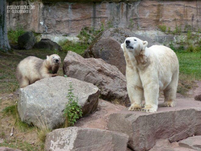 Aus der Eisbären-Truhe - Eisbären Charlotten u. Vera
