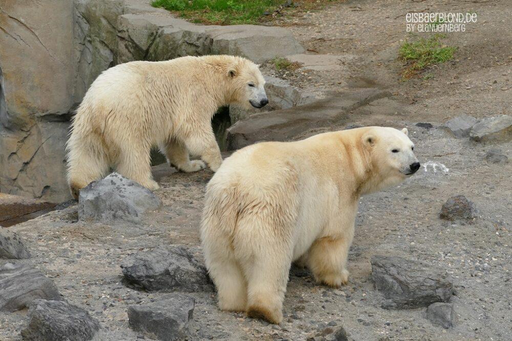 Eisbär MILANA + Eisbär NANA - Erlebnis-Zoo Hannover - 21.09.2021