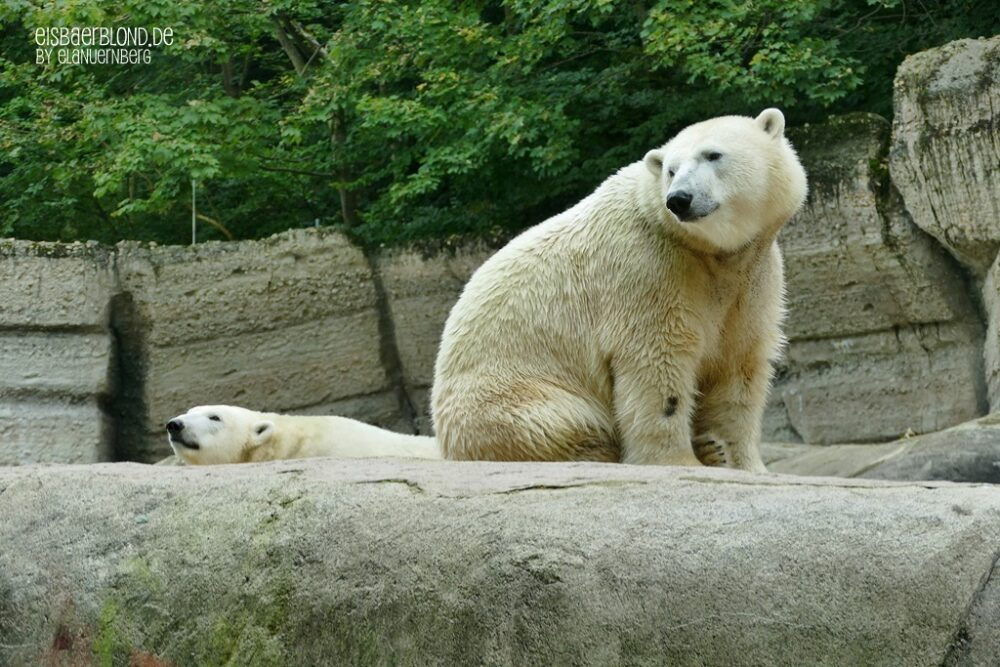 Eisbär NUNA + NOOKIE auf dem Felsen - TP Hellabrunn