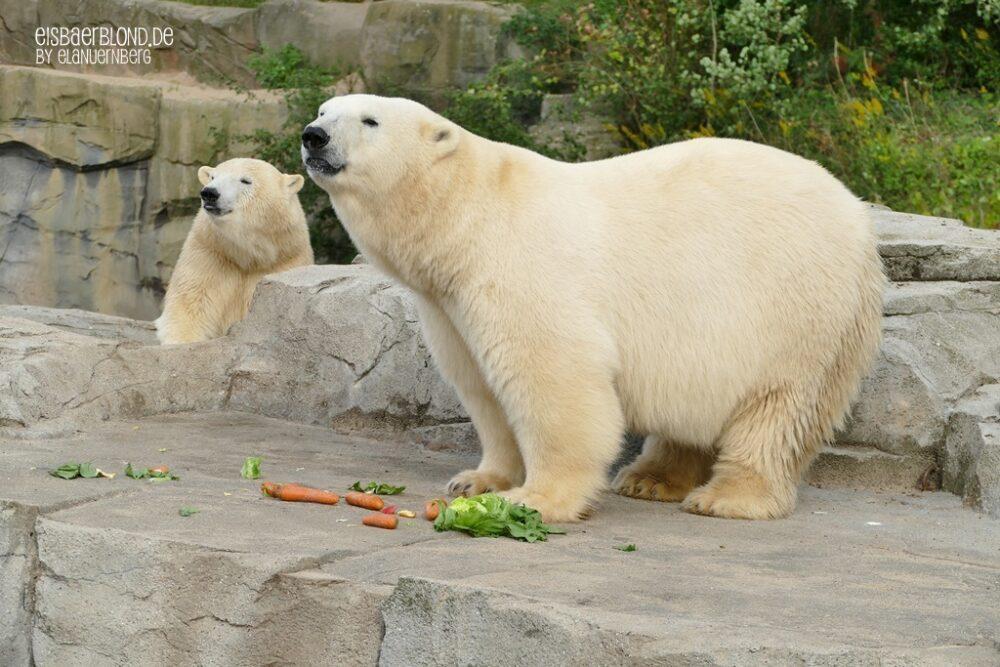 Eisbär MILANA + Eisbär NANA - Erlebnis-Zoo Hannover - 21.09.2021 - 1