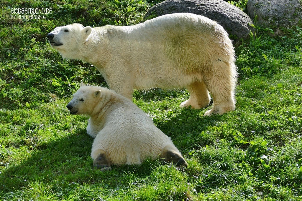 BÄRige Neuigkeiten - Eisbär SESI + Eisbär KARA - Zoo Mulhouse