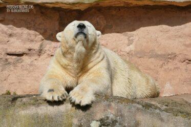 Eisbär VERA - Die Sonnenkönigin